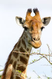 Giraffe photographed at Tala Private Game Reserve near Pietermaritzburg in KwaZulu-Natal, South Africa Royalty Free Stock Photo