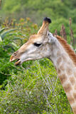 Giraffe photographed at Tala Private Game Reserve near Pietermaritzburg in KwaZulu-Natal, South Africa Royalty Free Stock Photography