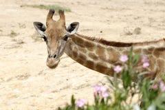 The giraffe Royalty Free Stock Photography