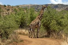 Giraffe in Pilanesberg National Park Stock Photography