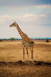 Giraffe on the Plains Stock Photography