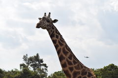 Giraffe with plane Royalty Free Stock Image