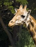 Giraffe Portrait. Three fourths view Stock Images
