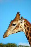 Giraffe portrait Stock Photography