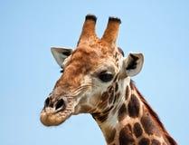 Giraffe portrait. In bright sunshine with a blue background Stock Photo