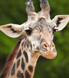Giraffe portrait Royalty Free Stock Photos