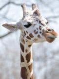 Giraffe-Portrait Lizenzfreie Stockfotos