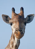 Giraffe portrait. An iconic giraffe in the Kruger Park, South Africa stock image