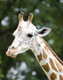 Giraffe on portrait Royalty Free Stock Photo