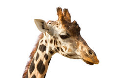 Giraffe portrait Royalty Free Stock Photography