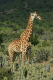 Giraffe Portrait. A giraffe poses in this portrait taken in the Karoo, South Africa Stock Photo