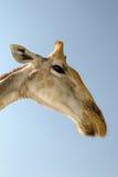 Giraffe portrait. Giraffe head seen from under Stock Photos