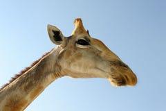 Giraffe portrait. Giraffe head seen from under Royalty Free Stock Photography