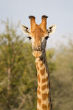 Giraffe portrait Royalty Free Stock Photo
