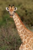 Giraffe portrait Royalty Free Stock Image