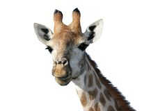 Giraffe Portrait. Portrait of a Giraffe on a white background Royalty Free Stock Photos