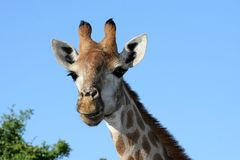 Giraffe Portrait. Portrait of a Giraffe from Africa Royalty Free Stock Image