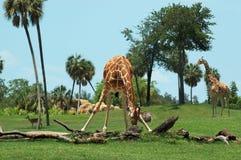 Giraffe portrait. Giraffe bending and eating grass Royalty Free Stock Images