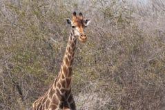 Free Giraffe Portrait Royalty Free Stock Image - 52440226