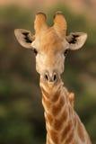 Giraffe portrait. Close-up portrait of a giraffe (Giraffa camelopardalis), Kalahari, South Africa royalty free stock photos