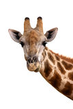 Giraffe portrait. Portrait of a giraffe isolated against white ; Giraffa Camelopardalis Stock Photography
