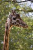 Giraffe portrait. (Zoo in Antwerp Royalty Free Stock Photography