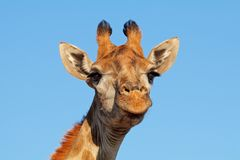 Giraffe portrait against a blue sky stock images