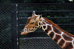 Giraffe portrait, black net background Stock Photo