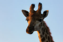 Giraffe portrait with blue sky. And golden colours Royalty Free Stock Photography