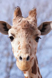 Giraffe portrait. Giraffe checking me out as I take its picture at the Denver zoo Stock Image