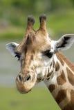 Giraffe. Portrait of a giraffe close up stock photos
