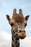Giraffe portrait. Close-up portrait of an old giraffe Stock Photos