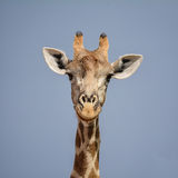 Giraffe Portrait Stock Photo