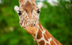 Giraffe portrait closeup. Small grip Stock Photo