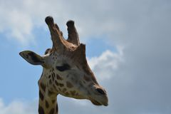 Giraffe sky portrait Royalty Free Stock Photo