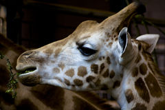 Giraffe Portrait, Eating Royalty Free Stock Photo