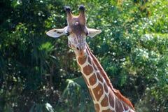 Giraffe portrait Royalty Free Stock Photos