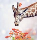 Giraffe Portrait and Flowers Royalty Free Stock Photo