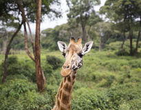 Giraffe portrait in the forest Royalty Free Stock Photos