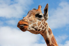 Giraffe portrait Stock Photos
