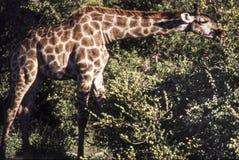 Giraffe. Portrait of a  giraffe Giraffa camelopardalis Etosha national park, Namibia, africa Royalty Free Stock Photos
