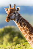 Giraffe Head Neck Animal. Close-up giraffe portrait of head and neck in afternoon sunlight  in the animal wildlife reserve Stock Image