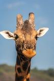 Giraffe portrait. Head of animals. Masai Mara. Kenya Stock Images