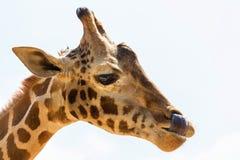 Giraffe. Stock Photos