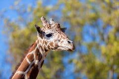 Giraffe. Stock Images