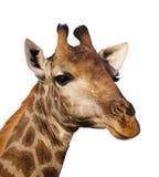 Giraffe portrait isolated. Portrait of a giraffe head isolated on white ; Giraffa Camelopardalis stock image