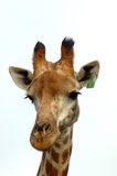 Giraffe portrait isolated. A beautiful African Giraffe head portrait with cute facial expression watching other African wildlife in a game reserve in South stock image