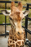 Giraffe. Portrait isolated looking at you Stock Image