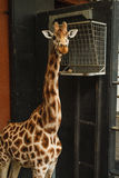 Giraffe. Portrait isolated looking at you Stock Photography