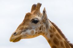 Giraffe portrait neck and head with white background. Bright colored giraffe skin Royalty Free Stock Photography